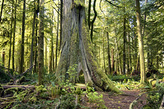 Cathedral Grove (gwendolyn.allsop) Tags: forest tree old ancient cathedral grove british columbia canada