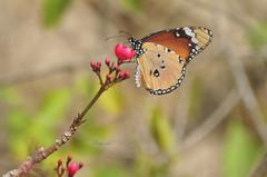 Monarch on Jatropha (David Lev) Tags: nirim mygarden shrubs jatropha butterfly macro cropped