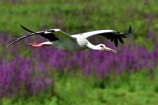 Weißstorch white stork Ciconia ciconia