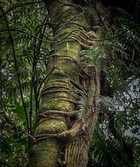 Treehug (loveexploring) Tags: breamhead metrosiderosrobusta newzealand newzealandnativebush newzealandnativeforest newzealandnativeplant northisland northernrata ripogonumscandens tewharatrack whangarei climber epiphyte forest hemiepiphyte rainforest rata supplejack temperaterainforest vine