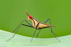 20180427 (macrodiffuser) Tags: insect macro diffuser