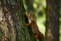 Auge in Auge (lebastian) Tags: panasonic dmcgx8 100300mm eichhörnchen squirrel animal tier baum wald tele zoom