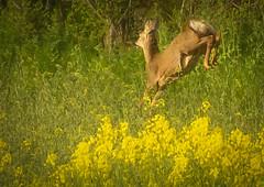 Spring time....Literally (mooncarrot) Tags: spring springtime deer somerset