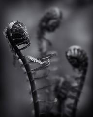 In Contention (SineQuaNonPhoto) Tags: nature macro pseudomacro plants flower flowers fern ferns fiddlehead fiddleheads bw blackwhite blackandwhite monochrome lowkey bokeh bokehlicious sal135f28 indiana indianapolis indy