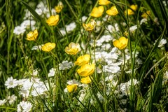 the buttercup field - boterbloemenveld (Stil Licht) Tags: topazstudio topaz ouddorp blooming flowers field