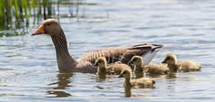 Rainham Greylag and chicks