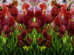 Tulips Crossing (hz536n/George Thomas) Tags: 2018 canon5d canon ef24105mmf4lisusm copyright cs6 nik spring holland tuliptime michigan tulip tulipa flora flower adobelabs pixelbender