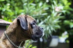 19/52 - Porthos (Valentina Conte) Tags: porthos dog boxer friend7companion animal pet domestic portrait dogphotography green garden nature look eyes expressive breed nose muzzle attention plants openspace 1952 v valentinaconte canon100d rebelsl1 52weeksfordogs