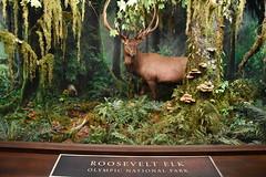 Roosevelt Elk - Olympic National Park (Adventurer Dustin Holmes) Tags: 2018 wondersofwildlife museum rooseveltelk elk olympicnationalpark nationalpark animal taxidermy stuffed exhibit