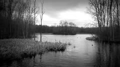 The Pond 3 (Jeffery Womack) Tags: mayburystatepark 2018earylyspring nature water blackwater hikingtrails michigan pond trees reeds smartphonephotography blackandwhite novi samsunggalaxy8plus lake monochrome dramaticmonochrome northville unitedstates us