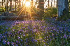 Kirroughtree forest sunset. (Mark McKie) Tags: galloway gallowayforestpark bonniegalloway bonniescotland nikon nikonphotography nikond7500 bluebells sunset trees forest woodland wildflowers scotland scottishlowlands minnigaff newtonstewart