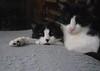 Minimum-effort eye contact from Tina (rootcrop54) Tags: tina female idaho male tuxedo tuxedocats multiple snuggle buddies dogbed neko macska kedi 猫 kočka kissa γάτα köttur kucing gatto 고양이 kaķis katė katt katze katzen kot кошка mačka gatos maček kitteh chat ネコ
