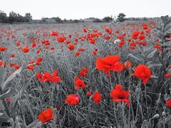 coquelicots x 10000000 (danie _m_) Tags: naturepic poppies flowerspower lovenature beautiful landscape flowers red countryside springtime nature coquelicots paysage fleurs campagne printemps