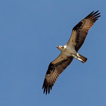 Osprey With Fish thumbnail