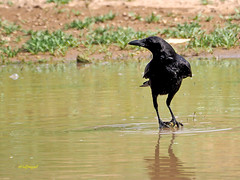 Corneja común (Corvus corone)  (49) (eb3alfmiguel) Tags: aves pájaros passeriformes corvidae corneja común corvus corone