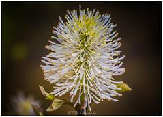 Welcome to Late Spring 2018 (~VKD~) Tags: flowerwatcher late spring flowers bloom blooming flash flashphotography canon7dmkii ef100mm welcome trails atlanta atlantatrail vickerycreektrail vickeryfalls