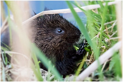 Water Vole. (vegetus aer) Tags: woodwaltonfen greatfen greatfenproject wildlifetrust bcnwildlifetrust nnr cambridgeshire water vole