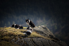 The Eerie of the Collie (JJFET) Tags: border collie dog sheepdog