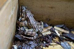 Loving frogs III (harald.bohn) Tags: frog frogs norway norwegian frosk frosker parende making love rana temporaria buttsnutefrosk
