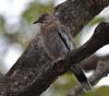 White-winged Dove (Zenaida asiatica) (fuzzballmaster) Tags: costa rica san jose la sabana