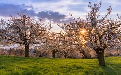 Cherry trees in blossom (Hegglin Dani) Tags: zug zugersee schweiz switzerland sunset sonnenuntergang sun sonne cherrytrees blossom kirschbäume blüte abendstimmung eveningmood