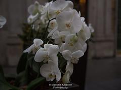 Orchidee (manuela albanese) Tags: euroflora2018 manuela albanese photo genova genoa sunday morning