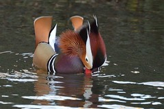 2018 01 07 002 KA Canal, madarin (Mark Baker.) Tags: 2018 avon baker berkshire eu europe january kennet kennetandavon mark newbury britain british canal day duck england english european gb great kingdom male mandarin outdoor photo photograph picsmark uk union united urban wildlife winter