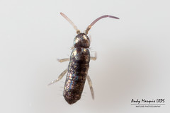 Tomocerus minor (AndyMarquis105) Tags: insect springtail collembola