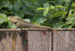 A big Tree Lizard (Rohit Tulsiyan) Tags: tree lizard animal wild natural snakes