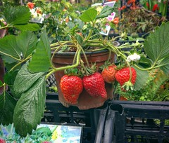 Strawberry (oksanadzinkovskay) Tags: food strawberry street market spring springtime
