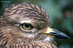 Kaapse Griel, BestZOO (kimberlydejager) Tags: vogel bestzoo dierentuin