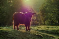 Galloway Cow in the morning light (neya25) Tags: galloway morgenlicht morning light olympusomdem10 mzuiko mzuiko75mm 75mm ambientlight availablelight benthe