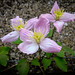 * Clematis Threesome