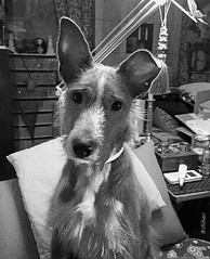 My dog TRIS (Kal BT) Tags: monochrome bw blackandwhite monocromo monocromático bn blancoynegro animal animals animales dog perro pet mascota puppy cachorro hound sabueso podenco face cara expresión expression beauty nice beautiful guapo bonito