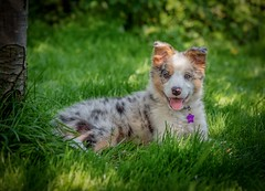 Back to the Puppy (Chris Willis 10) Tags: frog garden puppy star dog pets animal cute grass outdoors canine purebreddog mammal playful domesticanimals small nature playing greencolor friendship fun younganimal looking bordercollie redmerle