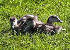 The Cute Ones (MrBlueSky*) Tags: egyptiangosling gosling bird waterfowl nature outdoor colour kewgardens royalbotanicgardens london pentax pentaxart pentaxlife pentaxawards pentaxflickraward pentaxk1mkii aficionados