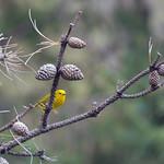 Yellow Warbler thumbnail