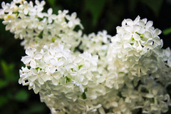 White Lilac (JuliSonne) Tags: lilac white flower plant blossoms spring virgin marriage smell nature