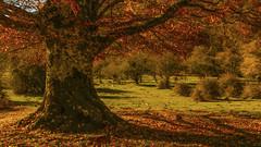 Andia (Sakandarra) Tags: otoño perro pinscher andia arbol sierra monte prado haya