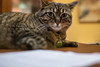 Giving me a choice look. (Specious Reasons) Tags: skywalker cats cat lens edge50