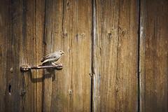 Bird on door (Moymoy117) Tags: sony sonyflickraward tamron 150600mm bird door switzerland a77 contraste flickrtravelaward