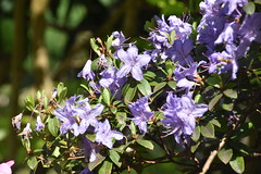 Purple Rhododendron (Manoo Mistry) Tags: rhododendron nikon nikond5500 tamron tamron18270mmzoomlens flowers blossams blossoms colours fragrance
