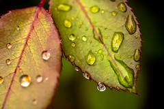 Project 52: Week 19 (Stacey Conrad) Tags: d7500 macro nikon pa summerfield willowstreet water waterdrop rain leaf project52