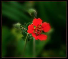 Small red flower (ronramstew) Tags: red flower bloom garden birchmoor stmichaels merseyside liverpool panasonic25mm17