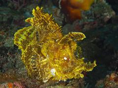 Rhinopias Frondosa (oceanzam) Tags: animal fish nature wild ocean sea scuba diving water underwater blue yellow light dark shadow deep art color philippines macro muck beach sun