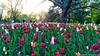 Red tulips (umakantht) Tags: ottawa flowers tulips colours d700 nikkor20mmf18g sunstar