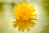 Dandelion Sunset (Nicholas Erwin) Tags: dandelion flower yellow nature naturephotography plant wildflower reflection puddle water colorful simple spring macro closeup fujifilm fujifilmxt2 fujixt2 fujixf6024 fujifilmmacro xf60mmf24rmacro xf60 6024 waterbury vermont vt unitedstatesofamerica usa bokeh depthoffield dof fav10 fav25
