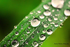 macro (andreea_mihailiuc) Tags: macro nature abstract colors artistic waterdrops day light green background depthoffield delicate delightful relaxing spring may photography photoshop andreeamihailiuc nikond3200 40mmf28 blur pure angelic