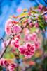ILCE-7M2-09993-20180518-1545 // Tokina AT-X SD 80-200mm 1:2.8 (Otattemita) Tags: 80200mmf28 florafauna tokina tokinaatxsd80200mmf28 fauna flora flower nature plant wildlife tokinaatxsd80200mm128 sony sonyilce7m2 ilce7m2 cnaturalbnatural ota