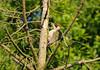 """""""Woody"""" (cjf3 - f15tog) Tags: tree woodpecker beak bird canon 7dmk2 150600mmslens sigmalens"""